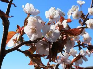 桜リサイズ